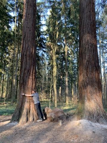 Ebenso der Durchmesser der Bergmammutbäume