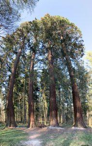 Mammutbäume von Weilimdorf
