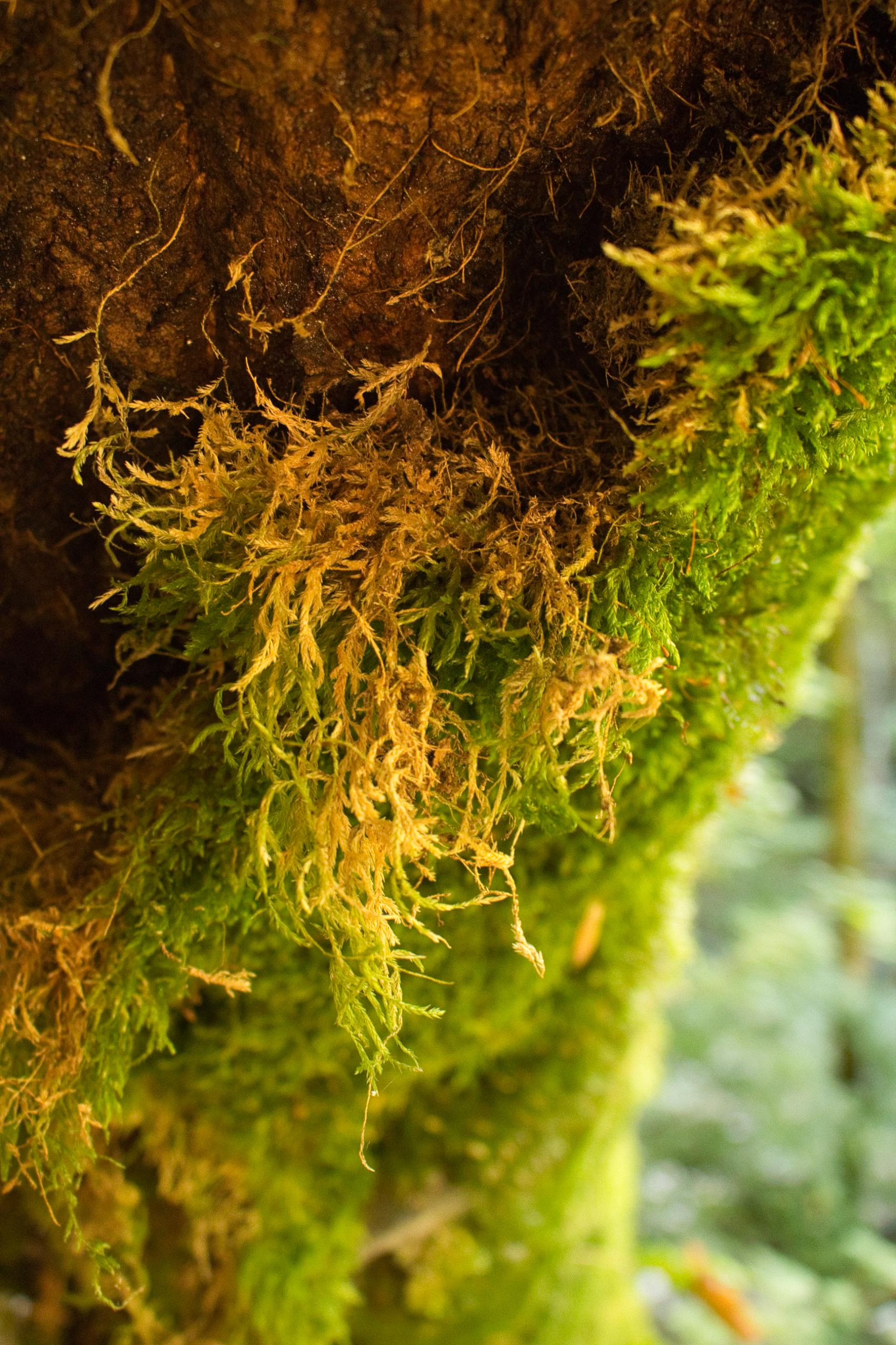 Moosbedeckte Baumstämme