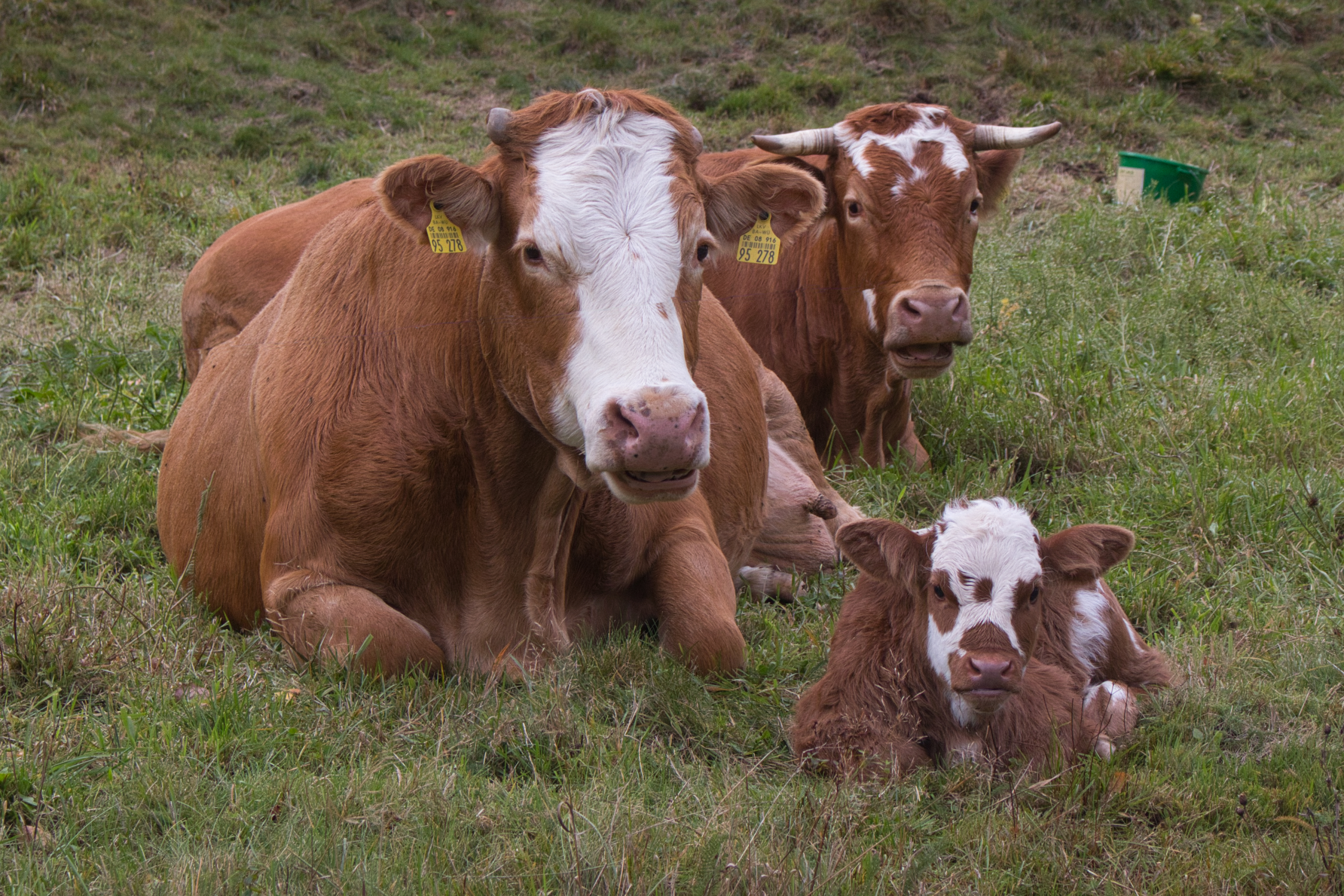 Kühe bei Menzenschwand